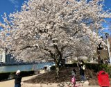 Cherry Blossoms, Roosevelt Island, April 2020