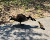 Spring 2020's first gosling in Southpoint Park...