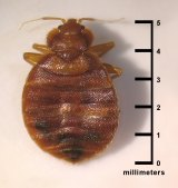 Dorsal view of an adult, Cimex lectularius, a bed bug