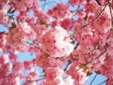 April 29, Annual Cherry Blossom Festival at FDR Four Freedoms Park
