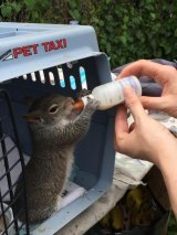 A Rescued Squirrel Rebuilding Strength