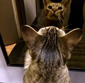 Binky Phillips cat Monte appreciating himself in a mirror...