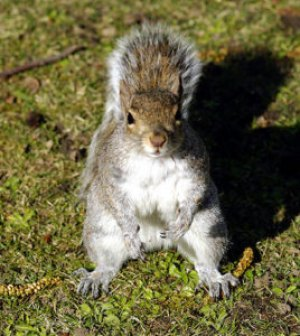 A real squirrel, not just someone who acts with as much common sense.