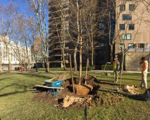 New tree planting, Rivercross lawn.