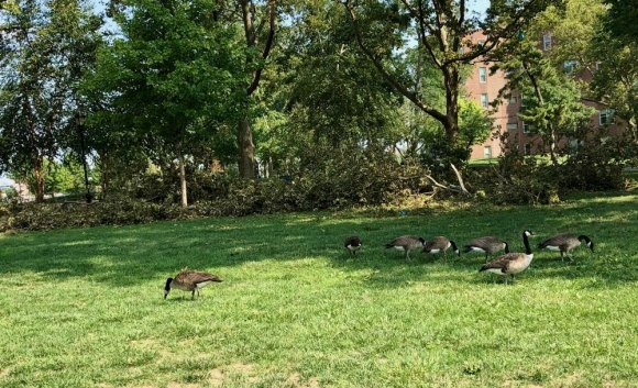 Canadian geese unperturbed by alleged park cleanup.