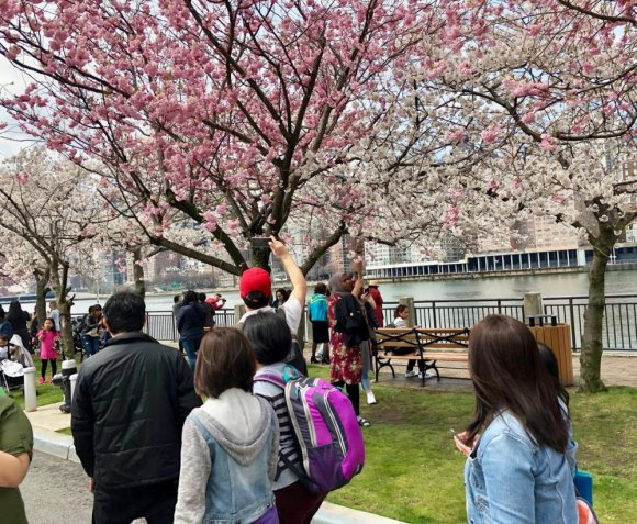 Buckle Up: Time for a Cherry Blossom Festival Post-Mortem