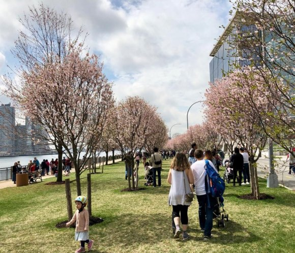 Roosevelt Island Cherry Blossom Festival Success and Related Troubles