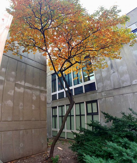 Natural born Roosevelt Island tree slated for destruction by New York Public Library.