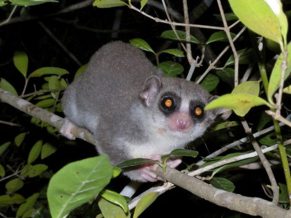 Fat Tailed Dwarf Lemur, a relative with the right idea.