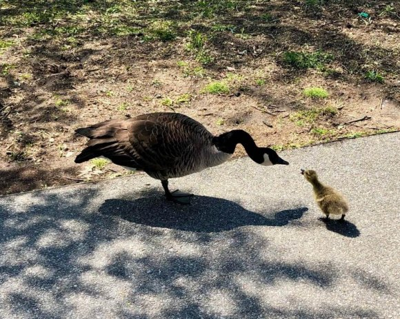 First gosling warms a difficult spring in 2020, but RiOC's made sure it will never happen again.