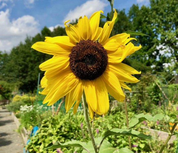 Sunflower meets the end of summer at the Garden Club