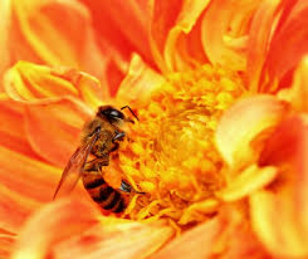 A Honey Bee Takes Nectar