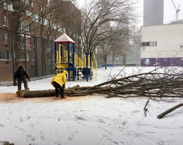 After destroying all the trees on PS/IS's north side, a contractor began working down the row of healthy trees in the playground.