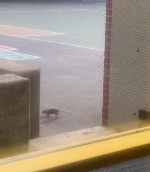 Rat from PS/IS 217's colony photographed romping in the School's Playground where children could be seen playing and sitting the next morning.